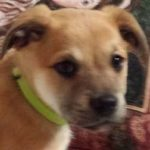 Oliver 8 week old retriever mix (m)