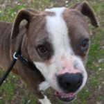 Diana - 2 yr old (f) boxer mix; available 4/1/17