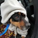 Mazi - 10 year old (f) rottweiler mix; available 4/1/17