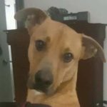 Weezer - 1 yr old Carolina Dog mix; available 4/1/17
