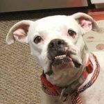 Yukon - 1.5 year old (m) boxer/bulldog; available 4/1/17